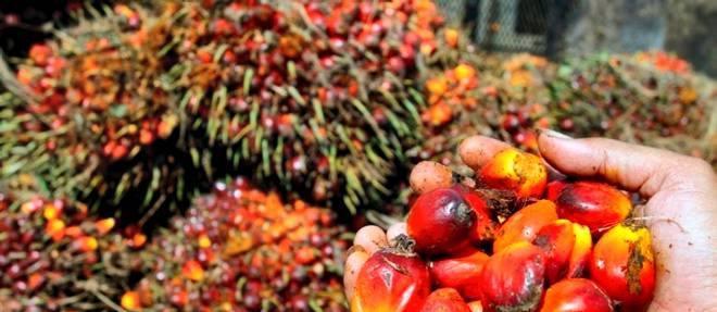 Récolte-palmiers